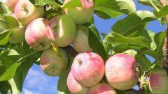 Диетические блюда из яблок