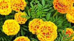 Самые неприхотливые и популярные садовые цветы
