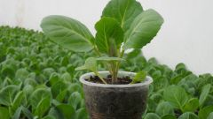 How to transplant cabbage