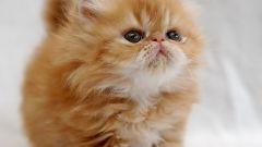 Как выбрать здорового персидского котенка