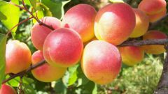 How to transplant an apricot