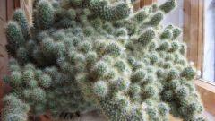 Как пересадить большой кактус