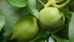 How to prepare a tincture of green walnut