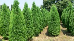 How to transplant thuja