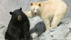 Как передвигается медведь