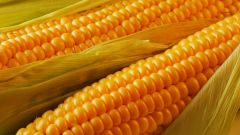 Несколько советов, как варить кукурузу