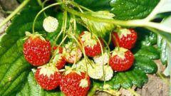 Садовая земляника, правила посадки и ухода