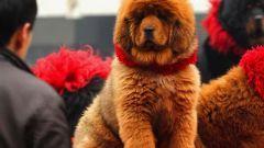 Самые дорогоие породы собак