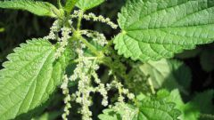 How to make thread of nettles