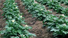 Как выращивать картофель на даче