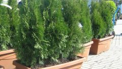 Is it possible to keep the house cypress or thuja