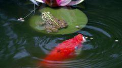 Рыбки для пруда на даче
