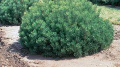 Pinus mugo – горная сосна: посадка и уход