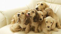 Как проходят роды у собак