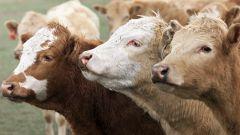 Как лечить растройство желудка у коровы