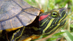 The red-eared terrapins: care and maintenance