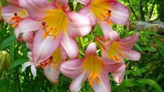 Bush lilies in the garden: planting and care