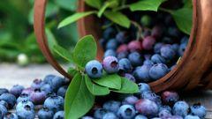 Как вырастить чернику из семян