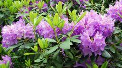 Будет ли расти рододендрон в открытом грунте в Подмосковье