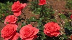 Как правильно укрывать розы на зиму на Северо-Западе России