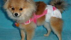 Зачем нужны памперсы для собак