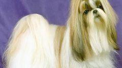Тибетская порода ши-тцу - собака, у которой выпадают глаза