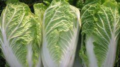 Ошибки при выращивании пекинской капусты