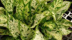 Причины пожелтения листьев у диффенбахии