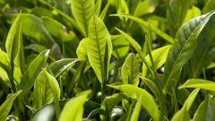 В каких странах выращивают чай