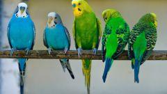 Как получить потомство от волнистых попугайчиков