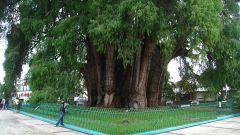Какое дерево живет дольше всех