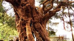 Какое дерево называют деревом смерти и бессмертия