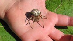 Опасен ли укус паука
