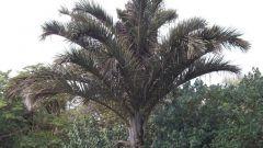 У какой пальмы самые большие листья в мире