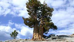 Какое самое старое дерево на нашей планете
