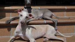 Собака левретка: особенности породы