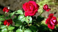 Как размножать розы зеленым черенком