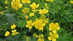 Почему луговой цветок назвали лютиком