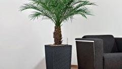 Украшение для дома – пальма финиковая