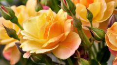 What fertilizers are needed for roses
