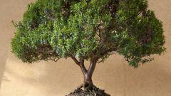 Какие есть комнатные деревья