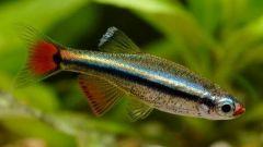 Рыбки кардиналы в домашнем аквариуме: особенности ухода