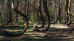 Почему Пьяный лес в Польше так назван