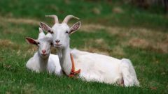 Why goat milk is so creamy