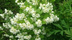 Какие цветущие кустарники посадить в саду