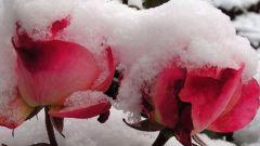 Сколько градусов мороза выдерживают незакрытые розы