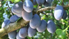 What varieties of plums are best planted in the suburbs