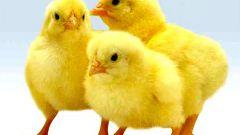 Цыплята-бройлеры: болезни и их профилактика