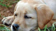 Inflammation perianalny glands in dogs: causes, treatment
