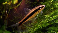 Сиамский водорослеед - задорный полосатик в вашем аквариуме